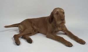 Wire-haired Hungarian Vizsla dog lying down