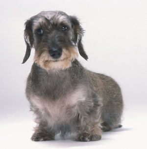 Wire-haired Miniature Dachshund (Canis familiaris) showing strong, prominent eyebrows