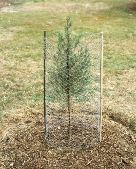 Wire mesh barrier protecting young Lawson's Cypress tree