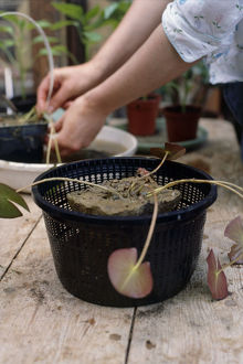 Woman removing Nymphaea tetragona (Pygmy Water Lily) seedling from small pot to plant