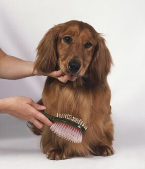 Woman using brush to groom red standard Long-haired Dachshund