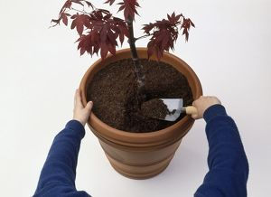 Woman using trowel to put compost in plant pot containing young tree