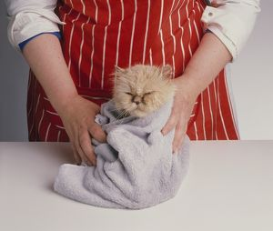 Woman wearing striped apron drying red longhaired Persian cat wrapped in towel