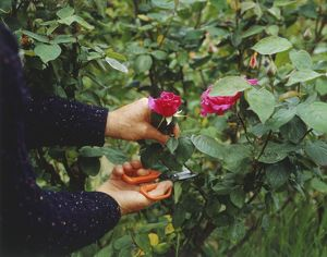 Woman's hands cutting a bright pink rose from a bush.