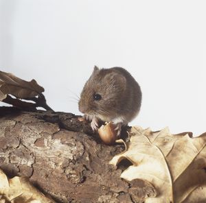 Wood Mouse (Apodemus sylvaticus) perched on bark of tree nibbling a nut.