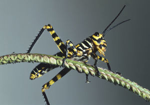 Yellow and Black Grasshopper on a narrow plant stem