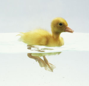 Yellow Duckling (Anatidae) swimming in water, legs visible below surface, side view