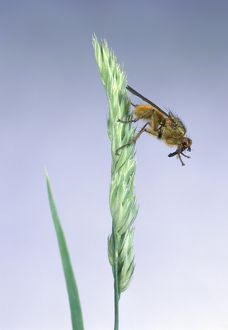 Yellow dung fly (Scathophaga stercoraria) launching itself off Dactylis glomerata