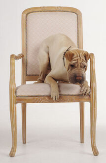 A yellowish-brown Shar Pei with its wrinkled brow and muzzle crouches on the edge