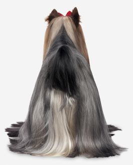 Yorkshire Terrier, rear view