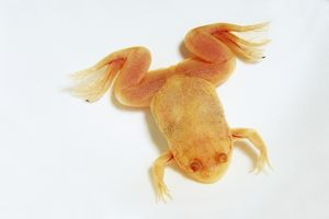 A young, albino African clawed frog (Xenopus laevis), view from above