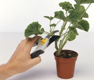 Young man's hand clipping a cutting off a geranium plant using pruning shears