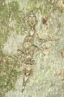 Australia, Queensland, leaf-tailed gecko (Phyllurus sp.) on tree trunk