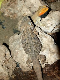 Australian Bearded Dragons (Pogona vitticeps)