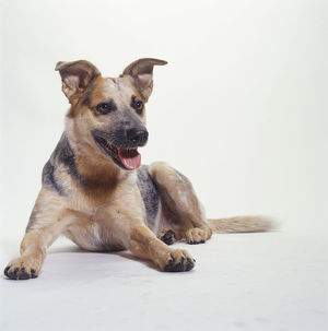 Australian Cattle Dog Lying Down, (Portrait)