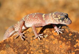Australian Gecko lizard. South Australia.