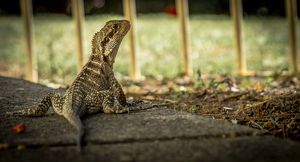 Australian Water Dragon | Wollongong