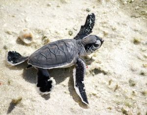 Baby Green Sea Turtle on a beach