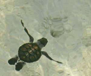 Baby Sea Turtle Swimming out to Sea