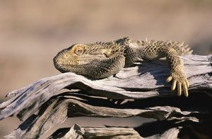 Bearded Dragon on a Branch, Simpson Desert, South Australia