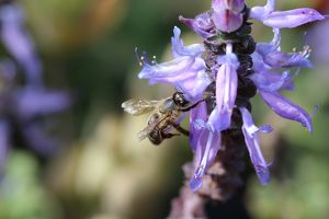 Bee on Dogbane Plectranthus caninus or known as Colues canina or dogbane blooming flowers