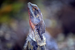 Close up of a frilled lizard