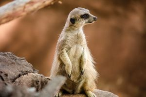 Close Up of a Meerkat in South Africa