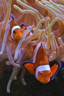 Clown Fish in their anemone