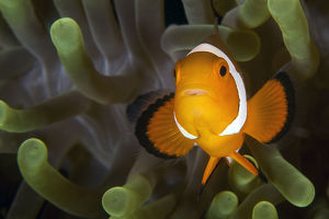 Clown fish on green anemone