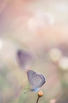 Common Grass Blue Butterfly