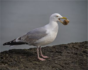Common Gull with a sea-shell, Lyme Regis, Dorset, England.