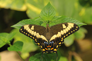 Common Lime Butterfly or Citrus Swallowtail -Papilio demoleus-, tropical butterfly