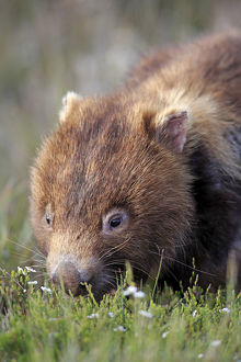 Common Wombat -Vombatus ursinus-, adult, foraging, Wilsons Promontory National Park