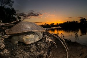 Cooper Creek Turtle, Longreach QLD