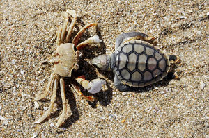 Crab (Brachyura) with dead Sea Turtle (Cheloniidae) as prey, Cape York Peninsula