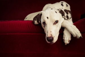 Dalmatian dog on red lounge