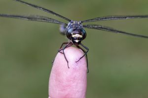 Dragonfly on a finger