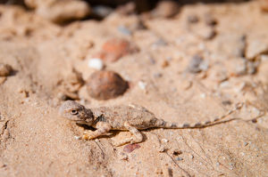 Earless Dragon (Tympanocryptis intima), Australia
