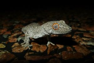 Eastern spiny-tailed gecko (Strophurus williamsii)