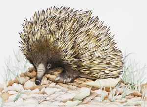 Echidna on leaves