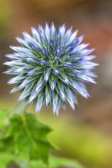 Echinops flower causing a strange visual effect