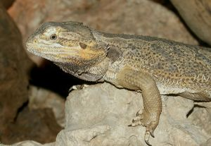 Female Bearded Dragon (Pogona vitticeps)