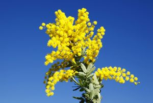 Flowering yellow wattle. South Australia.