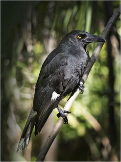 Forest Currawong, Lord Howe Island