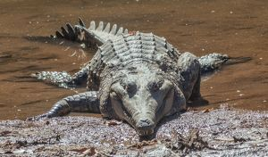 Freshwater crocodile with dragonflies