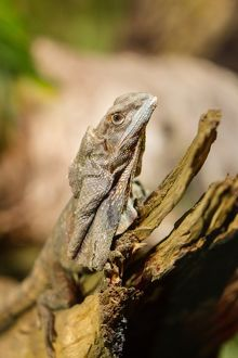 Frill-necked lizard on a dead branch