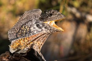 Frilled Dragon, Australia