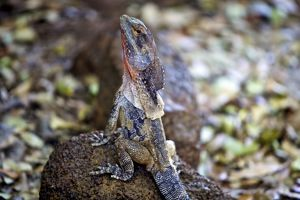 Frilled lizard sitting on a rock