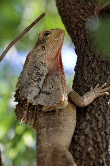 The frilled-neck lizard in a tree