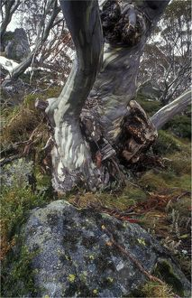 Ghost gum, Snowy mountains of New South Wales, Australia